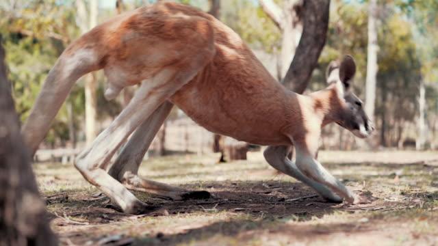 Kangaroo on a farm video