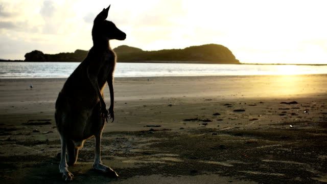Kangaroo on the beach at sunrise Kangaroo on the beach, unique Australia travel concept. Check for more than 800+ unique clips from Australia in my portfolio. kangaroo stock videos & royalty-free footage
