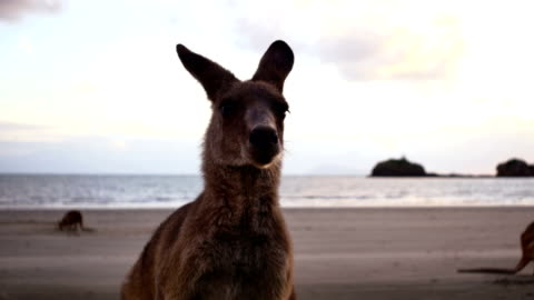 kangaroo on the beach at sunrise - memeli stok videoları ve detay görüntü çekimi