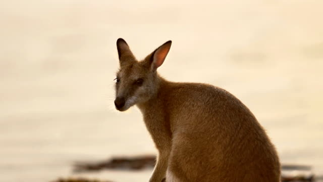 Kangaroo on the beach video