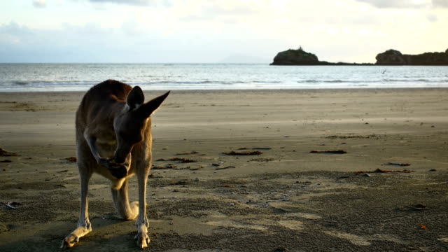 Kangaroo on the beach Australia travel concepts kangaroo stock videos & royalty-free footage