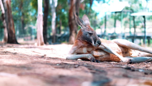 Kangaroo on the floor video