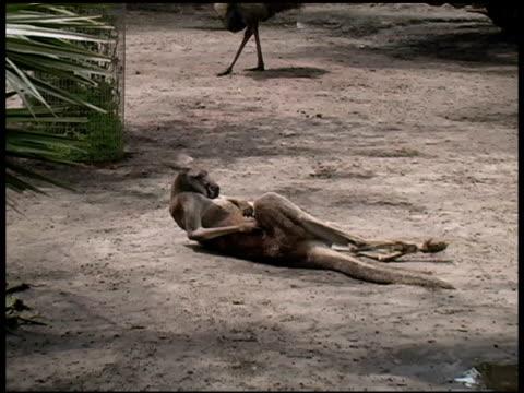 kangaroo kratzen seiner bauch - aquarium oder zoo stock-videos und b-roll-filmmaterial