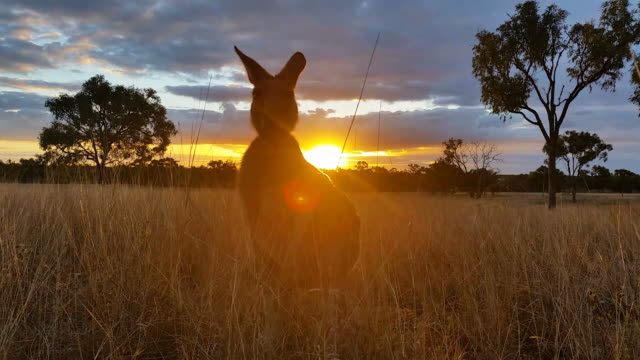 Kangaroo Sunset Australia Landscape This is a sunset landscape shot with a Kangaroo that was filmed on farm property, the kangaroo is a family pet and happily posed for me while I got off these shots. This would make a great intro into any Australian kind of wildlife sequence or landscape. kangaroo stock videos & royalty-free footage
