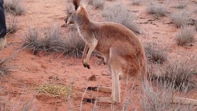 kangaroo with a joey SLOW MOTION: Red female kangaroo with a joey in a pocket, Macropus rufus, on the red sand of outback central Australia. Australian Marsupial in Northern Territory, Red Center. Sunset light. kangaroo stock videos & royalty-free footage