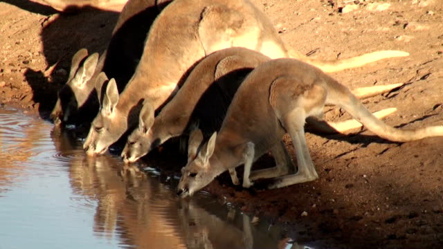 kangaroos drinking video