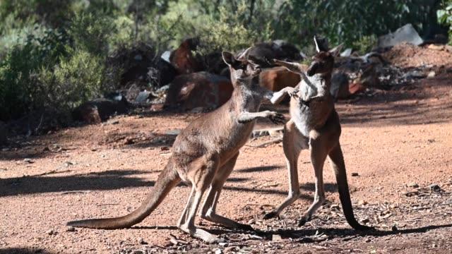 vídeos y material grabado en eventos de stock de canguros luchando en el exterior de australia occidental - luchar