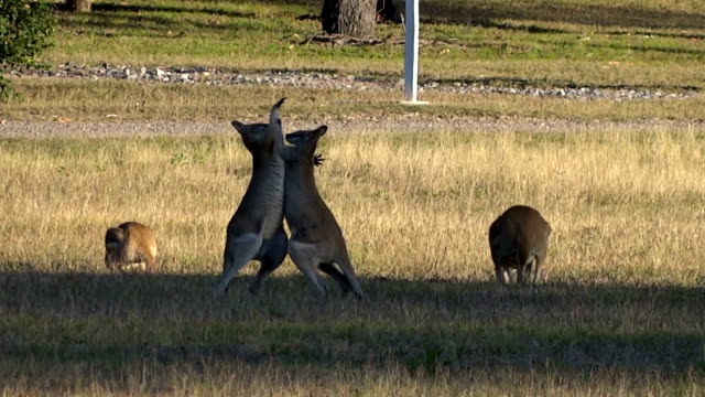 Kangaroos fighting Two kangaroos are fighting on a meadow. kangaroo stock videos & royalty-free footage