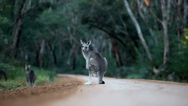 Kangaroos in Australia Bush 1080p Kangaroos hop around a road in Australia kangaroo stock videos & royalty-free footage