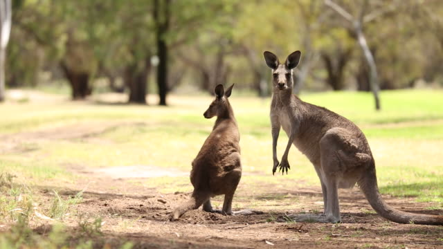 Kangaroos in the Wild B Kangaroos in the Australian bush, outback. kangaroo stock videos & royalty-free footage