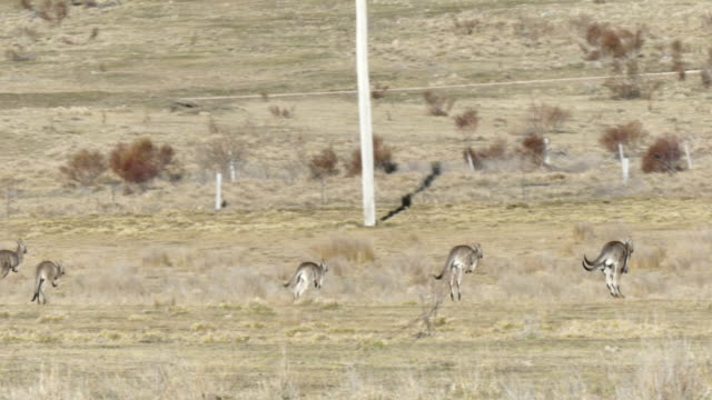 Kangaroos moving in a large group in a field in Australia in 4k