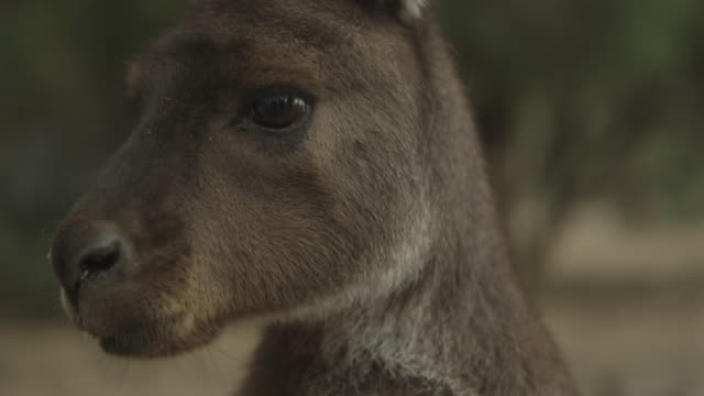 Kangaroos - Native Australian Marsupial Kangaroos - Native Australian Marsupial kangaroo stock videos & royalty-free footage