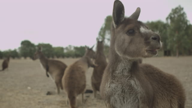 Kangaroos - Native Australian Marsupial video