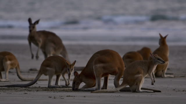 Kangaroos on the beach at sunrise video