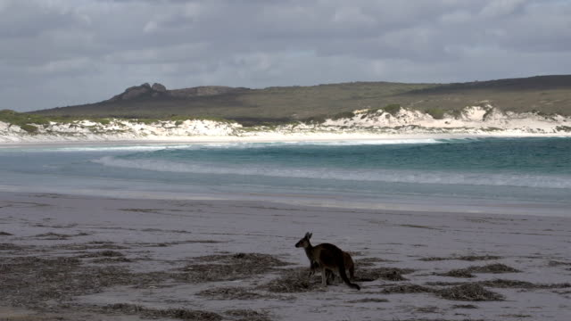 kangaroos on the beach in cape le grand national park - western australia stock videos & royalty-free footage