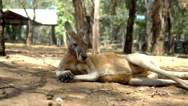 ファームのカンガルー - 動物園点の映像素材/bロール