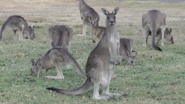 kangaroos kangaroos grazing in outback Queensland, Australia kangaroo stock videos & royalty-free footage