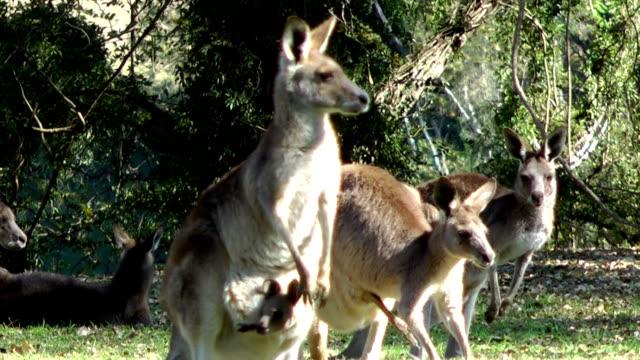 kangaroos video