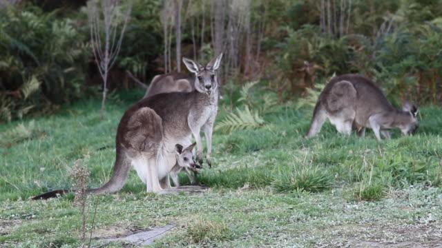 Kangaroos with joeys video