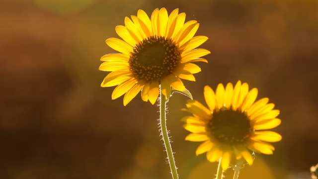 Kansas Sunflowers At Low Sun HD