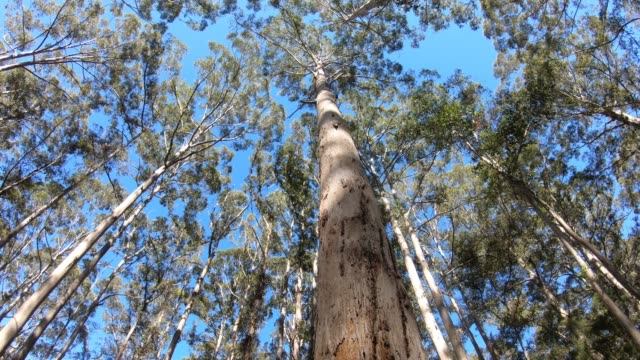 Karri forest in South Western Australia. Looking up Karri forest in South Western Australia. bush stock videos & royalty-free footage
