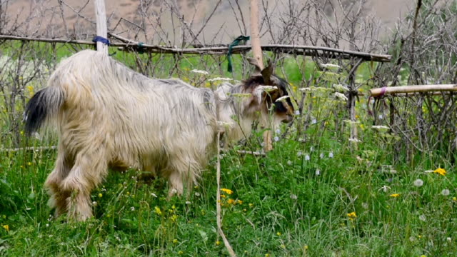 Kashmir goat in  Zanskar landscape,Jammu Kashmir ,North India