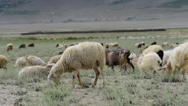 Kashmir goats in beautiful field of Zanskar landscape,Jammu Kashmir ,North India