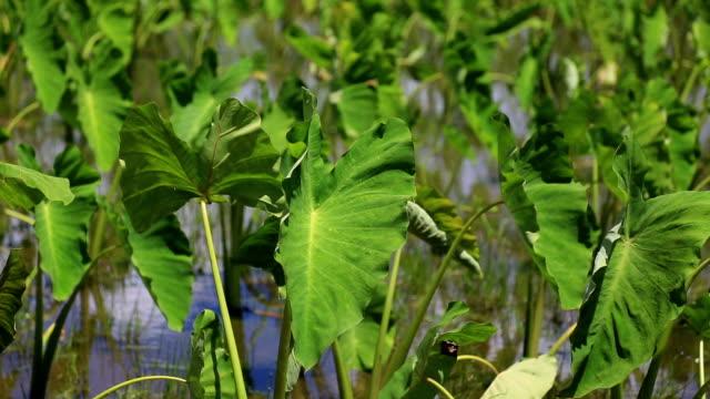 Kauai Island To shoot the taro fields jp201806 stock videos & royalty-free footage