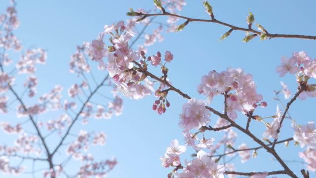 fiori ciliegio kawazu, showa memorial park, tokyo, giappone - colore ciliegia video stock e b–roll