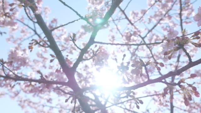 河津町桜の花、「昭和記念公園、東京,日本 ビデオ