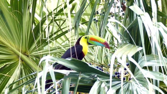Keel-Billed Toucan (Ramphastos Sulfuratus) perched in palmtree with colorful berries video