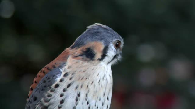 Kestrel Close Up - video