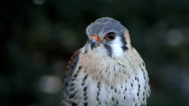 Kestrel Close Up - video