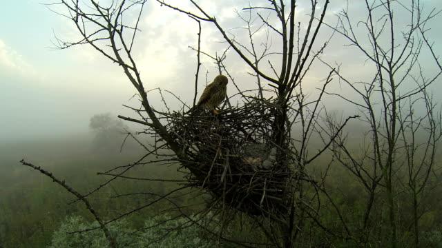 Kestrel on the nest, fog.