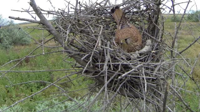 Kestrel on the nest