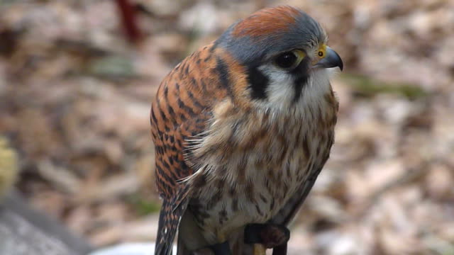 Kestrel A small falcon looking up and around in a full-frame view hawk bird stock videos & royalty-free footage