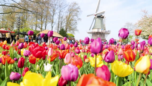 Keukenhof tulips farm season Keukenhof tulips farm season in Netherland tulip stock videos & royalty-free footage