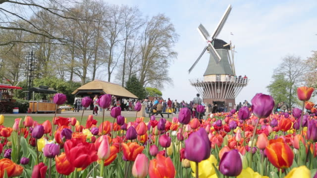 Keukenhof tulips farm season Keukenhof tulips farm season in Netherland netherlands stock videos & royalty-free footage