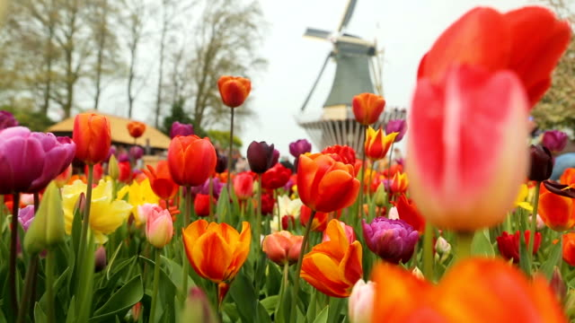 Keukenhof tulips farm season Keukenhof tulips farm season in Netherland with Full HD tulip stock videos & royalty-free footage