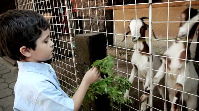 Kid Feeding Young Goats