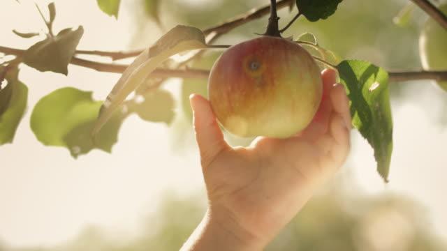 vídeos de stock e filmes b-roll de criança de dois escolheu uma maçã - picking fruit