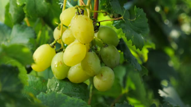 vídeos de stock e filmes b-roll de kid's hand plucking grape - grapes