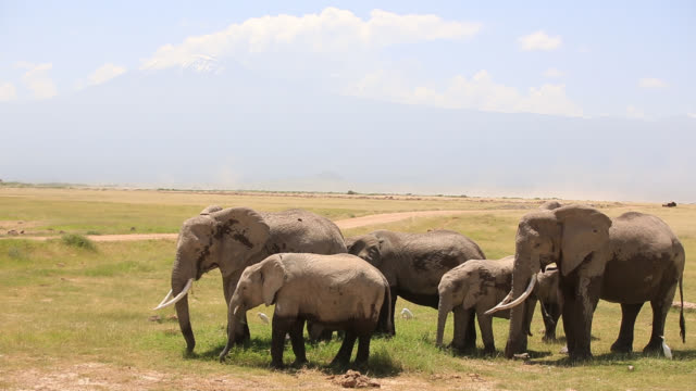Kilimanjaro and African Elephants in Marsh with Calf at Amboseli National Park