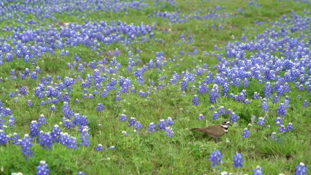 KillDeer Bird mating call in Texas Bluebonnets video