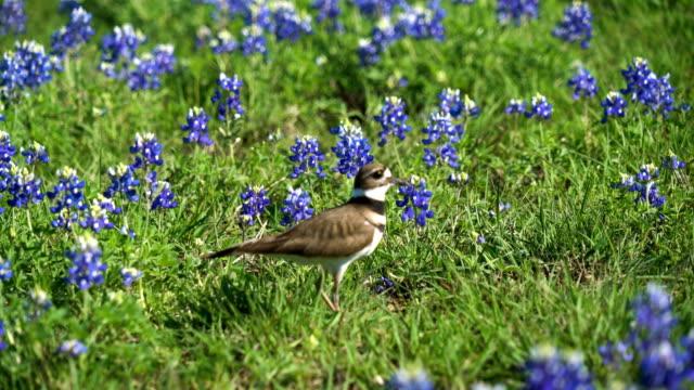 KillDeer Bird running through Spring time Bluebonnets in Austin , Texas video