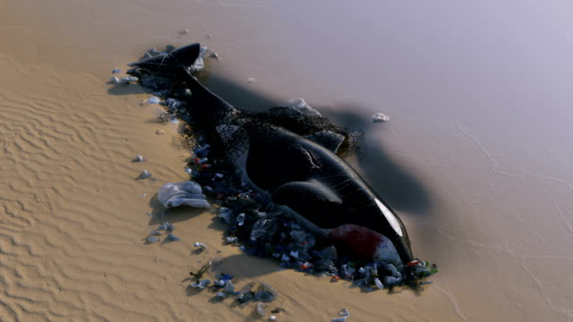 vídeos de stock e filmes b-roll de killer whale dead by ocean pollution - poluição
