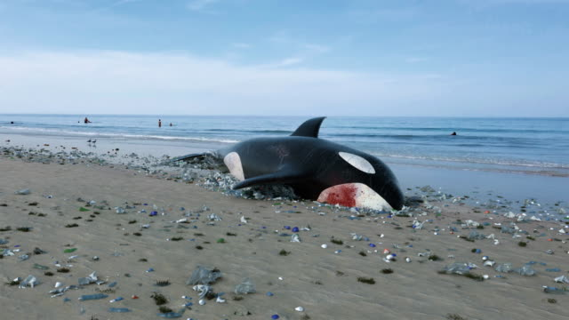 vidéos et rushes de l'épaulard mort par la pollution d'océan - baleine