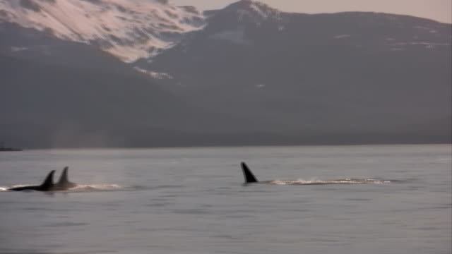 Killer Whale In High Definition HD & Saved At Highest Quality. video