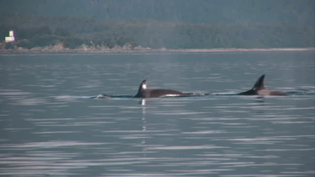 Killer Whales hunting feeding High Definition (HD) saved highest quality. video
