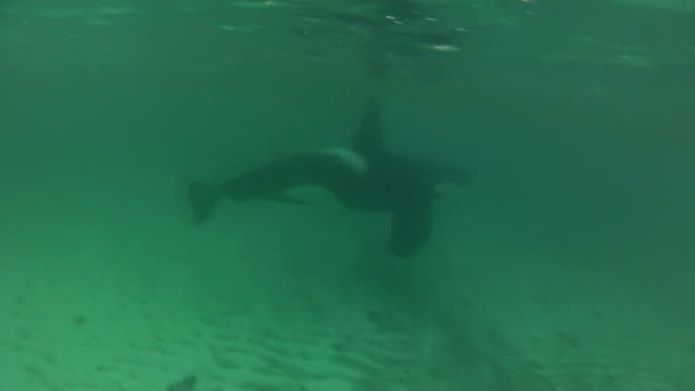 Killer whales swimming video